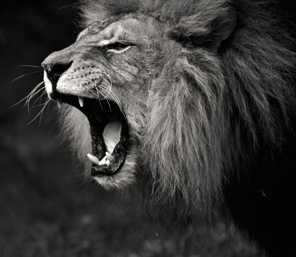 Iphone wallpaper tumblr lion - Black And White Lion Roaring