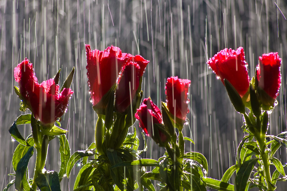 Free Download Rain On Flowers Wallpapers Hd Wallpapers