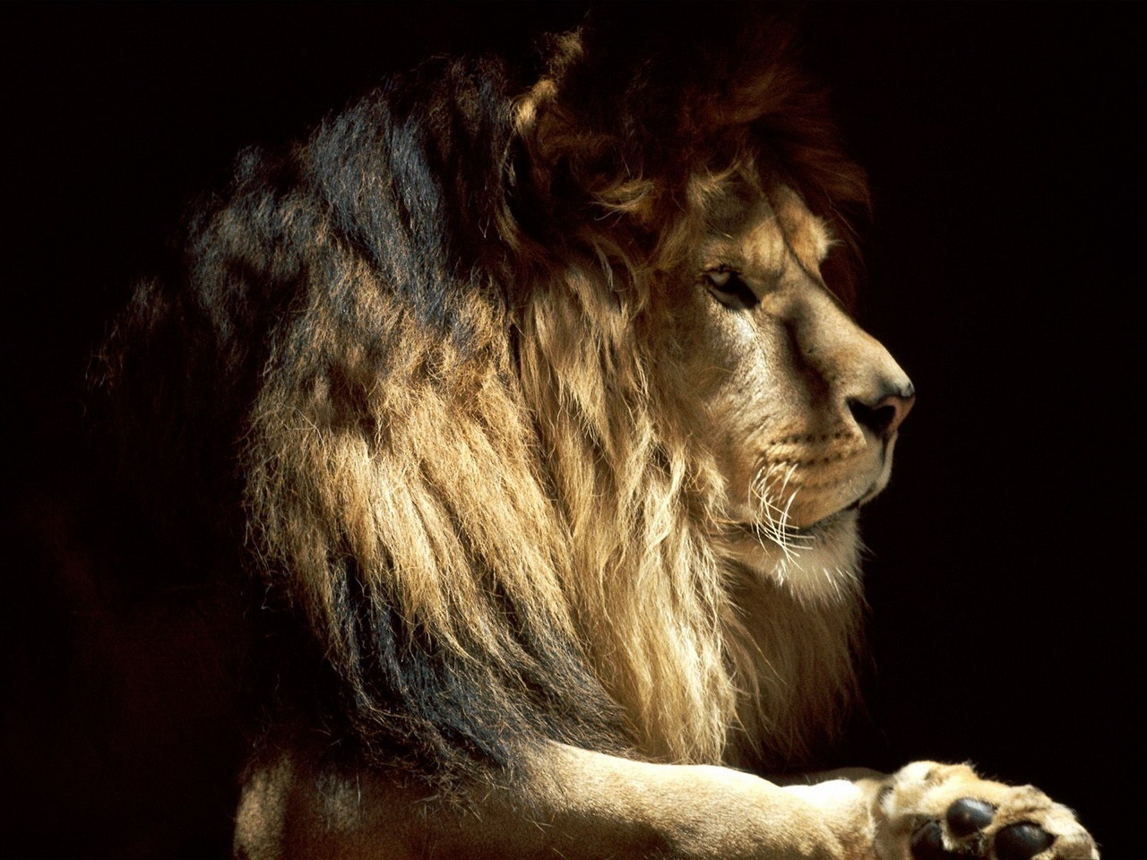 Free Download Old Lion Hd Wallpaper For Android Live Wallpaper