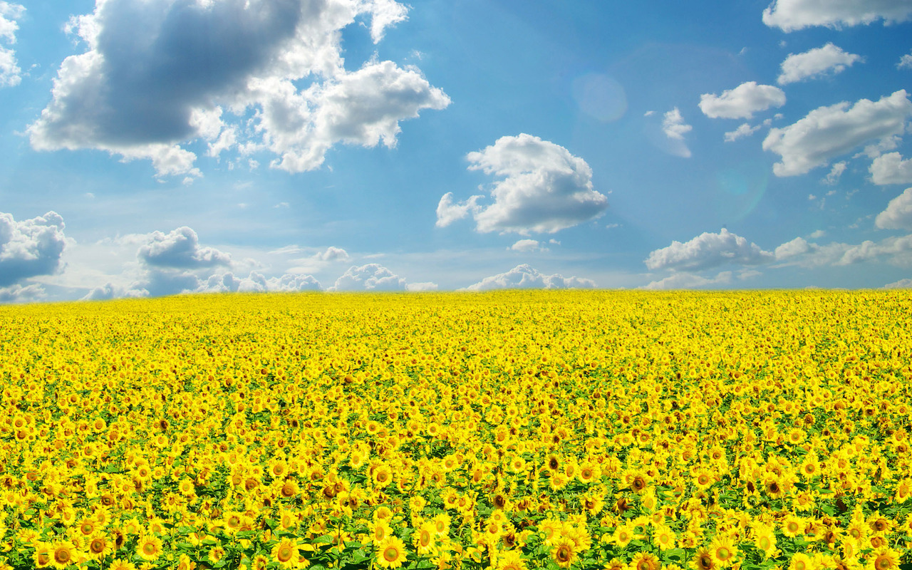 Sunflower field wallpaper 2247 1280x800
