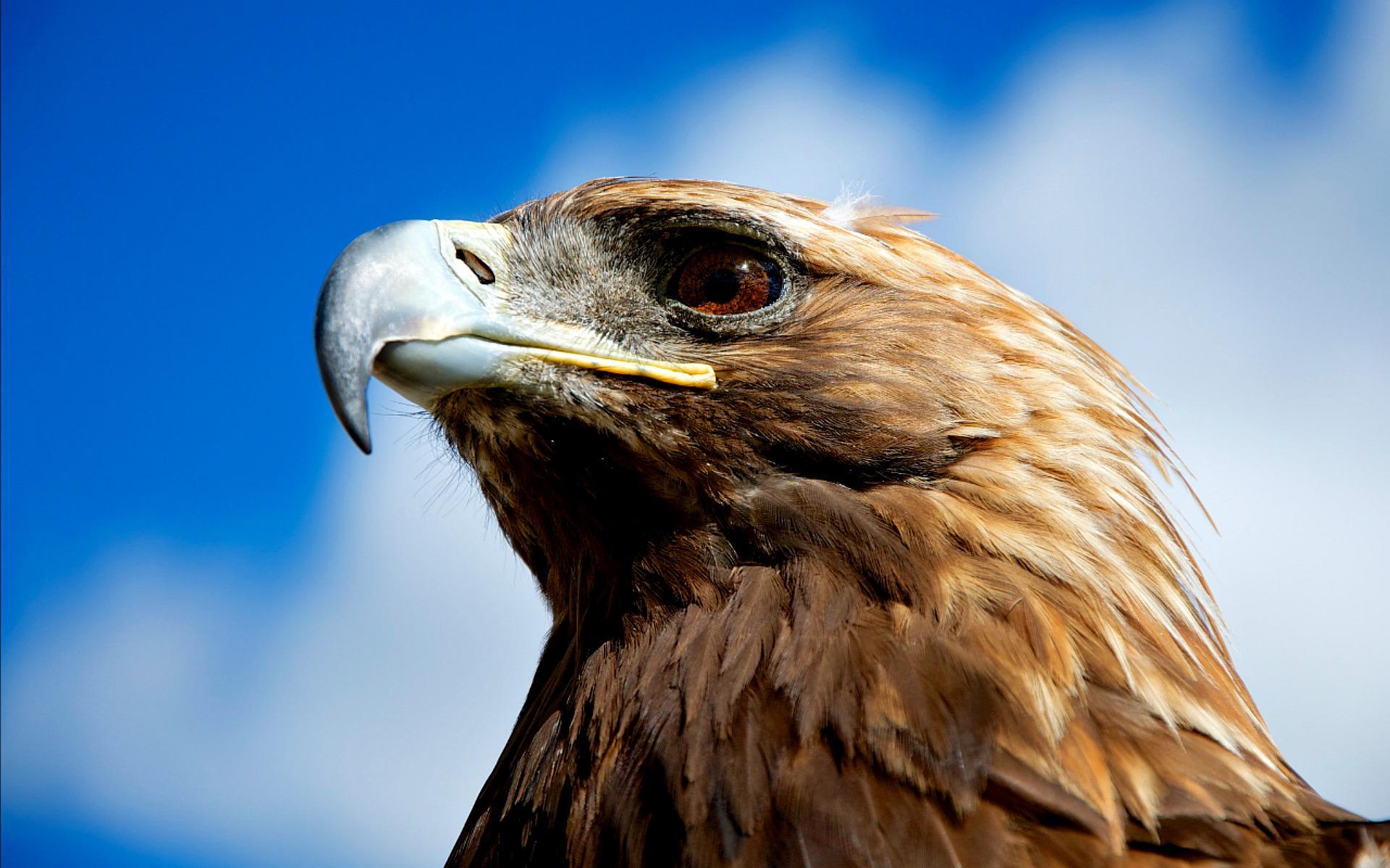 Free download Golden Eagle HD Wallpapers WallpapersIn4knet ...