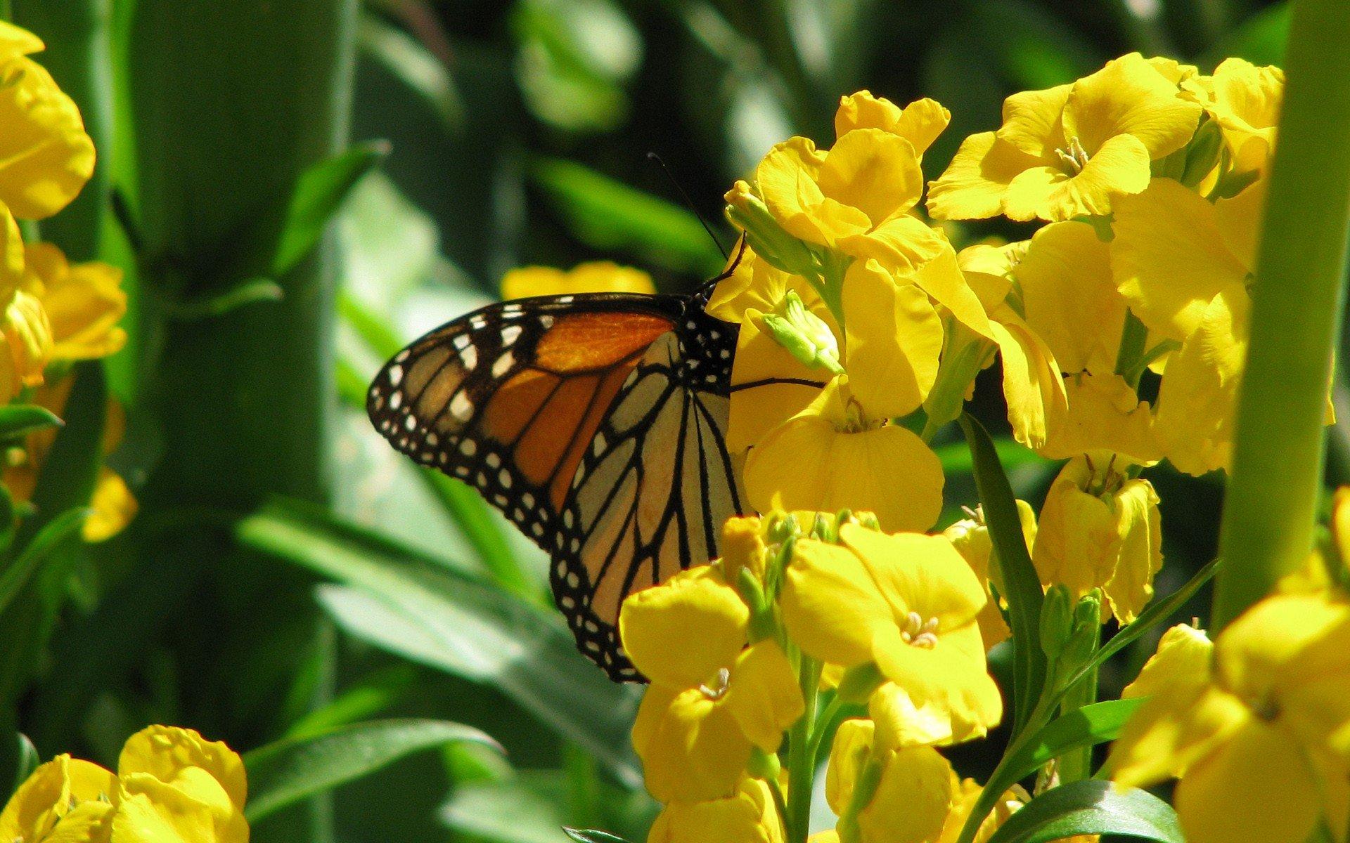 Spring Butterfly Wallpaper - WallpaperSafari