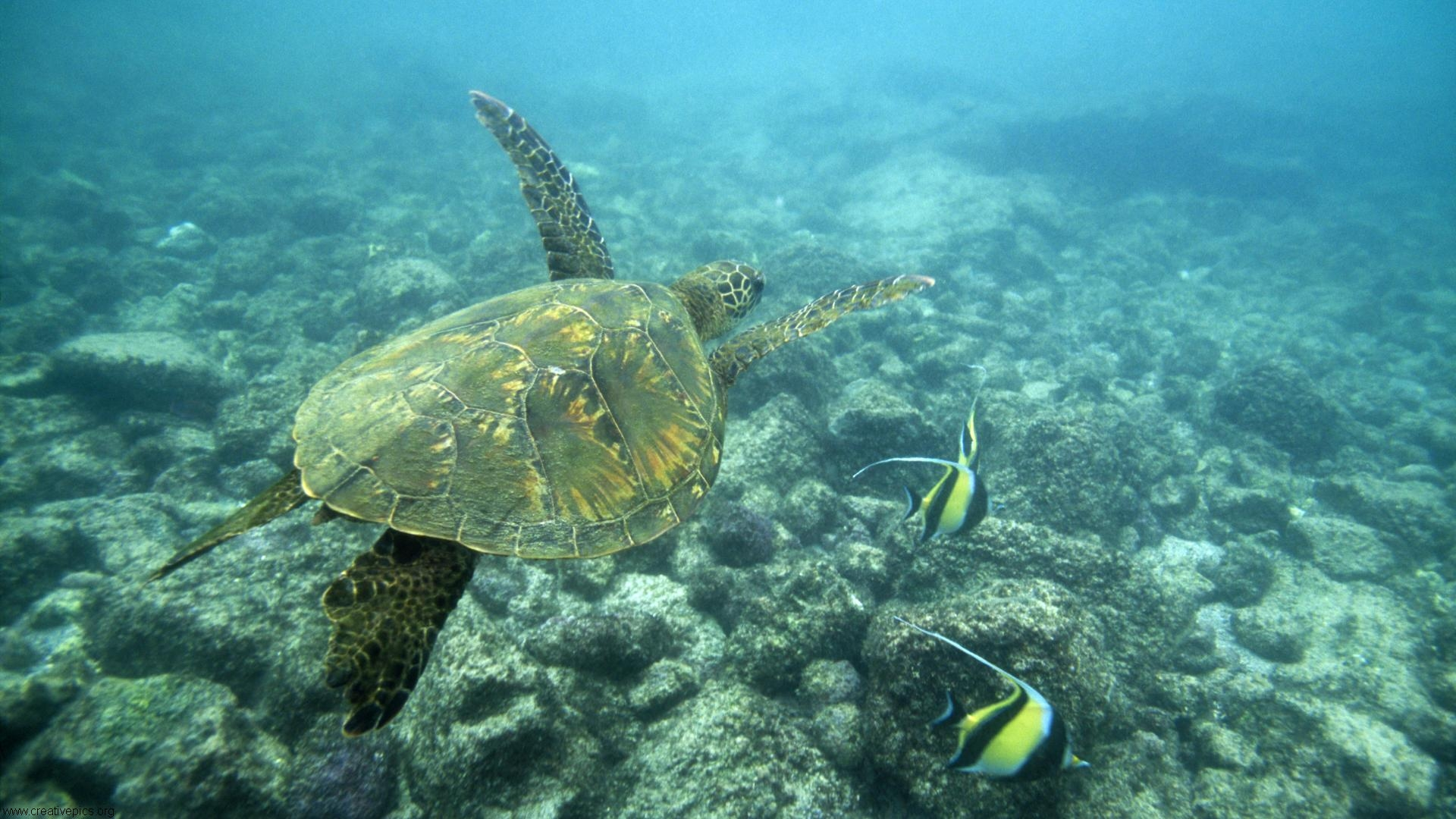 Green Sea Turtle Big Island Hawaii HD Wallpaper   Creative Pics 1920x1080