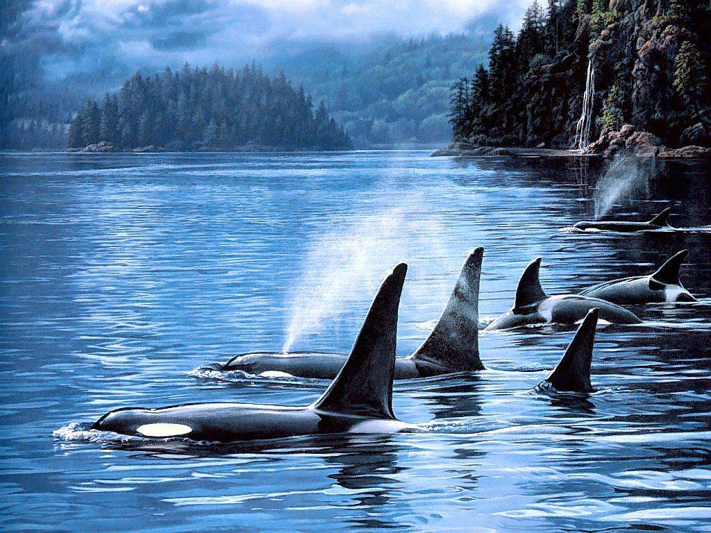 Orca Underwater Wallpaper Pod of orca whales 1024x768
