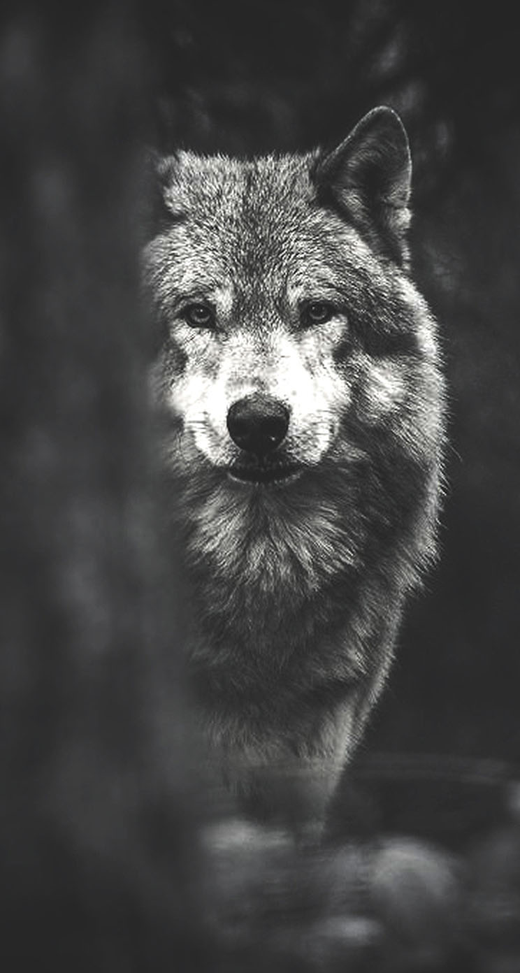 Wolf   The iPhone Wallpapers 744x1392