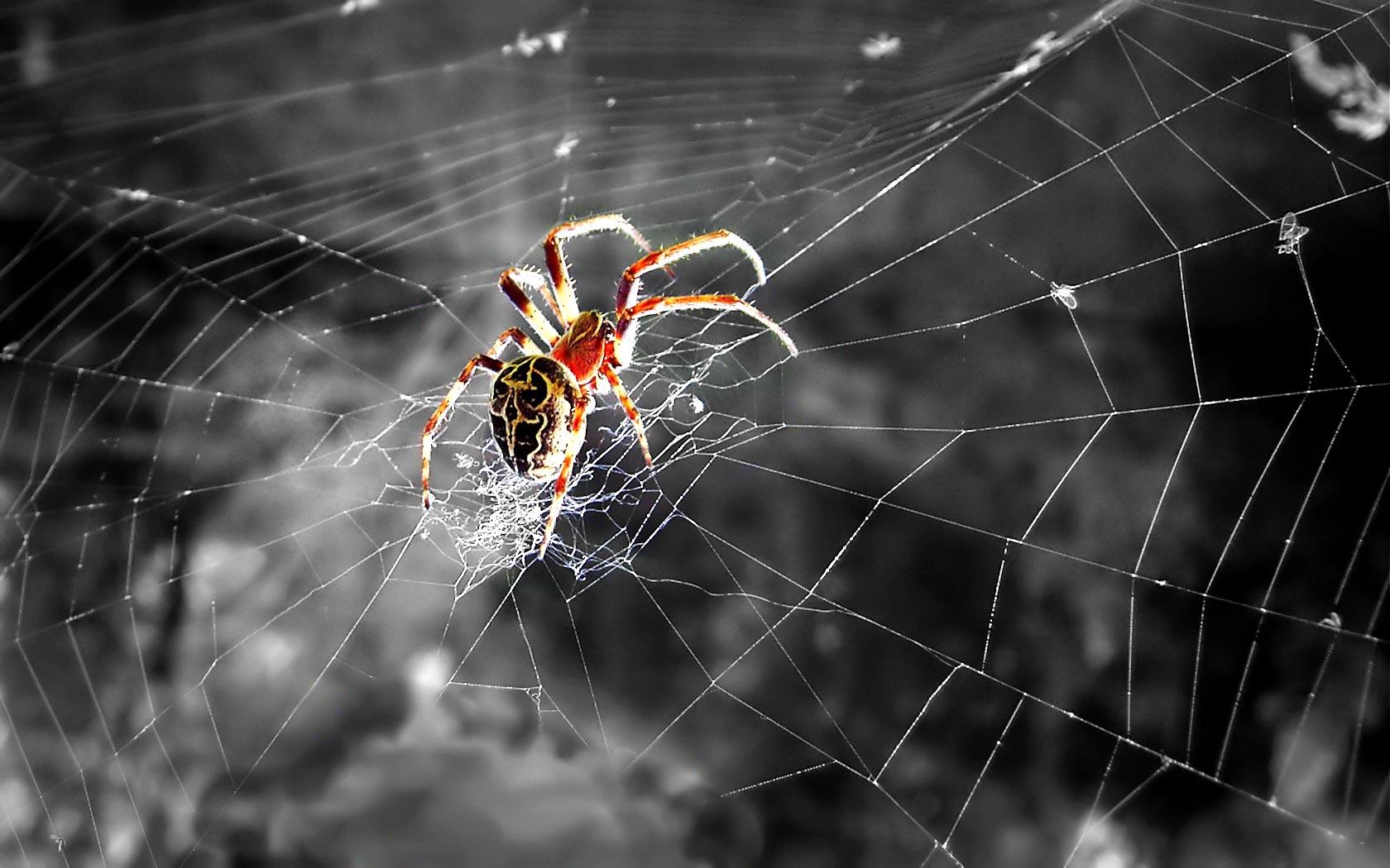 HD Wallpaper Animals Striped Lynx Spider widescreen wallpaper 1680x1050