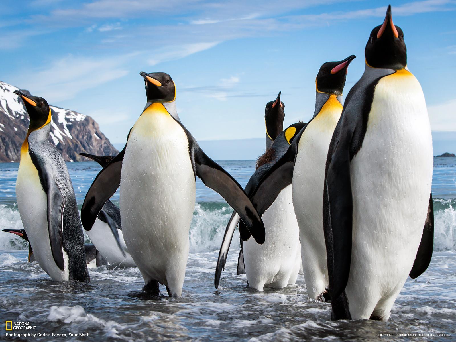 King penguins wallpaper 1600x1200 13511 1600x1200