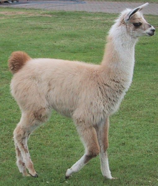 Llama Pictures Wallpapers   Wallpaper 5 of 8 509x599