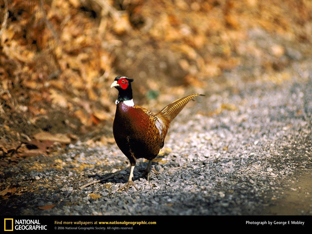 Goose Hunting Wallpapers Pheasant desktop wallpaper 1024x768