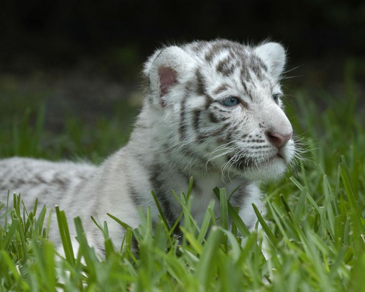 TIGER WALLPAPERS White Tiger Cub Wallpapers 1280x1024