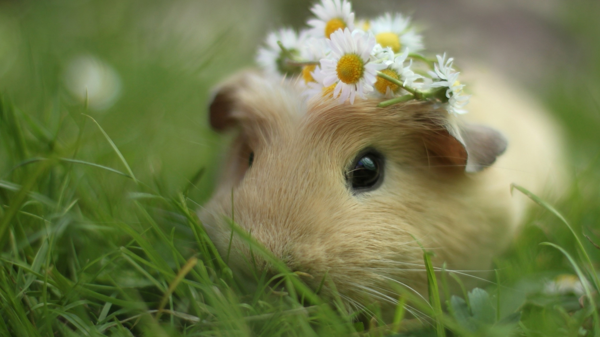 guinea pig cute - Google Search | Guinea Pigs CUTE | Pinterest ...