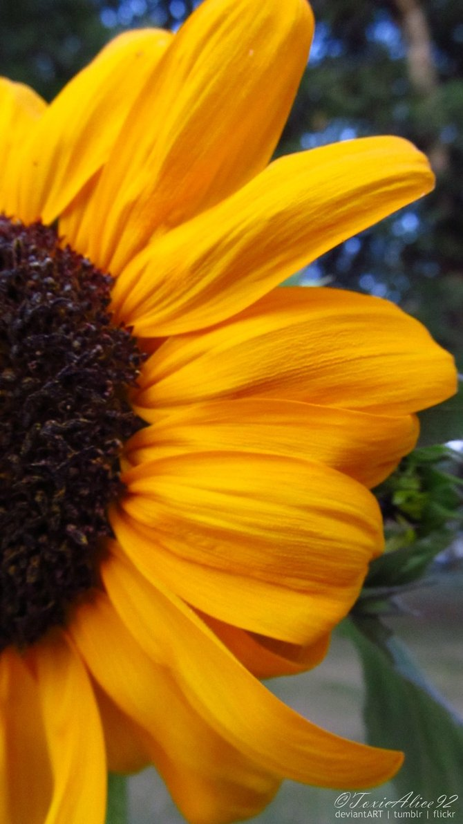 Free Download Hq High Res Sunflower Cell Phone Wallpaper By