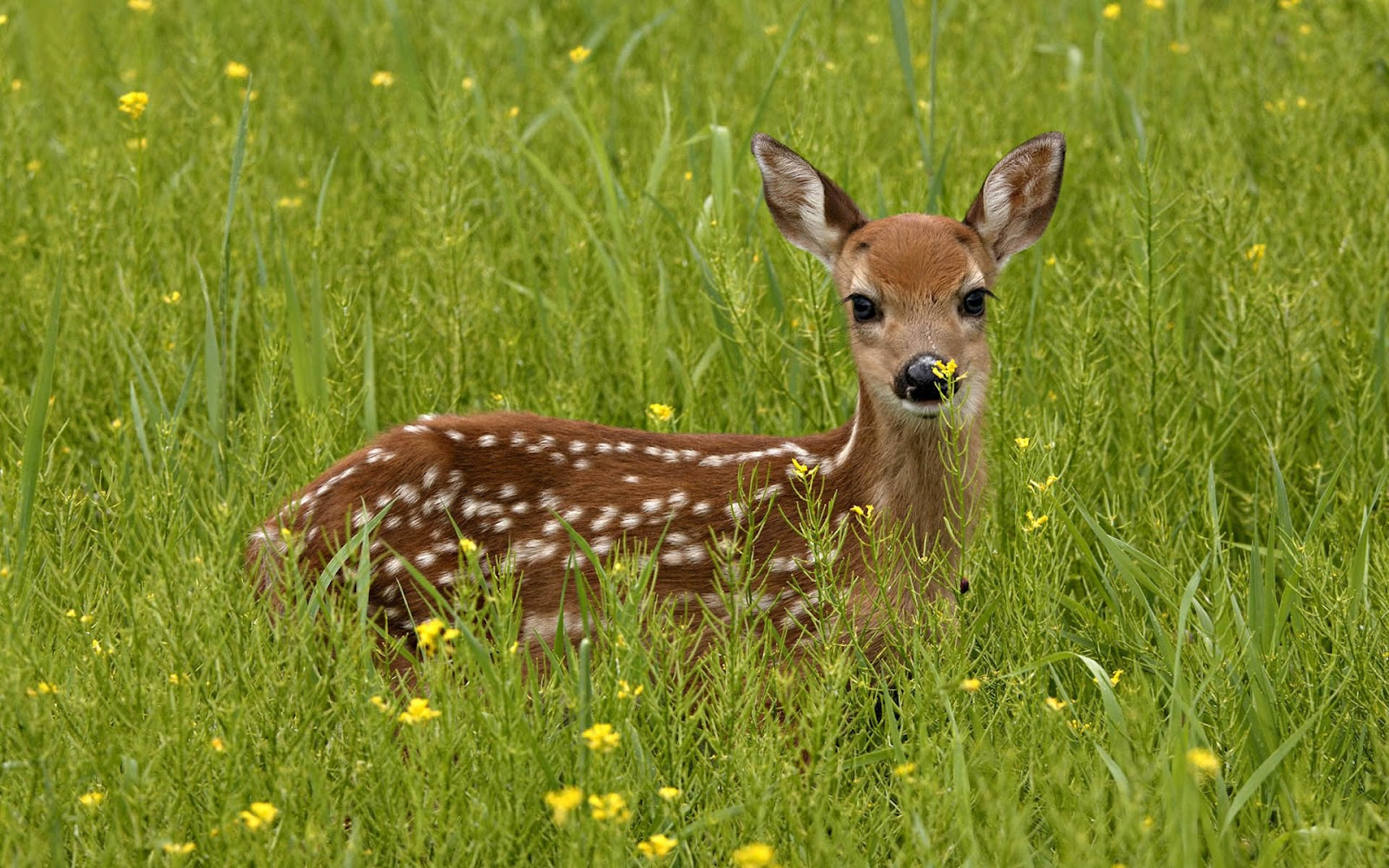 Deer Deer Wallpapers Deer hd Wallpapers Deer Photos Deer 1600x1000