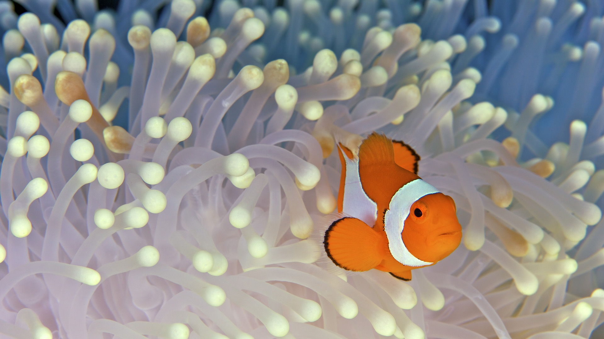 Clown Fish Wallpaper 1920x1080