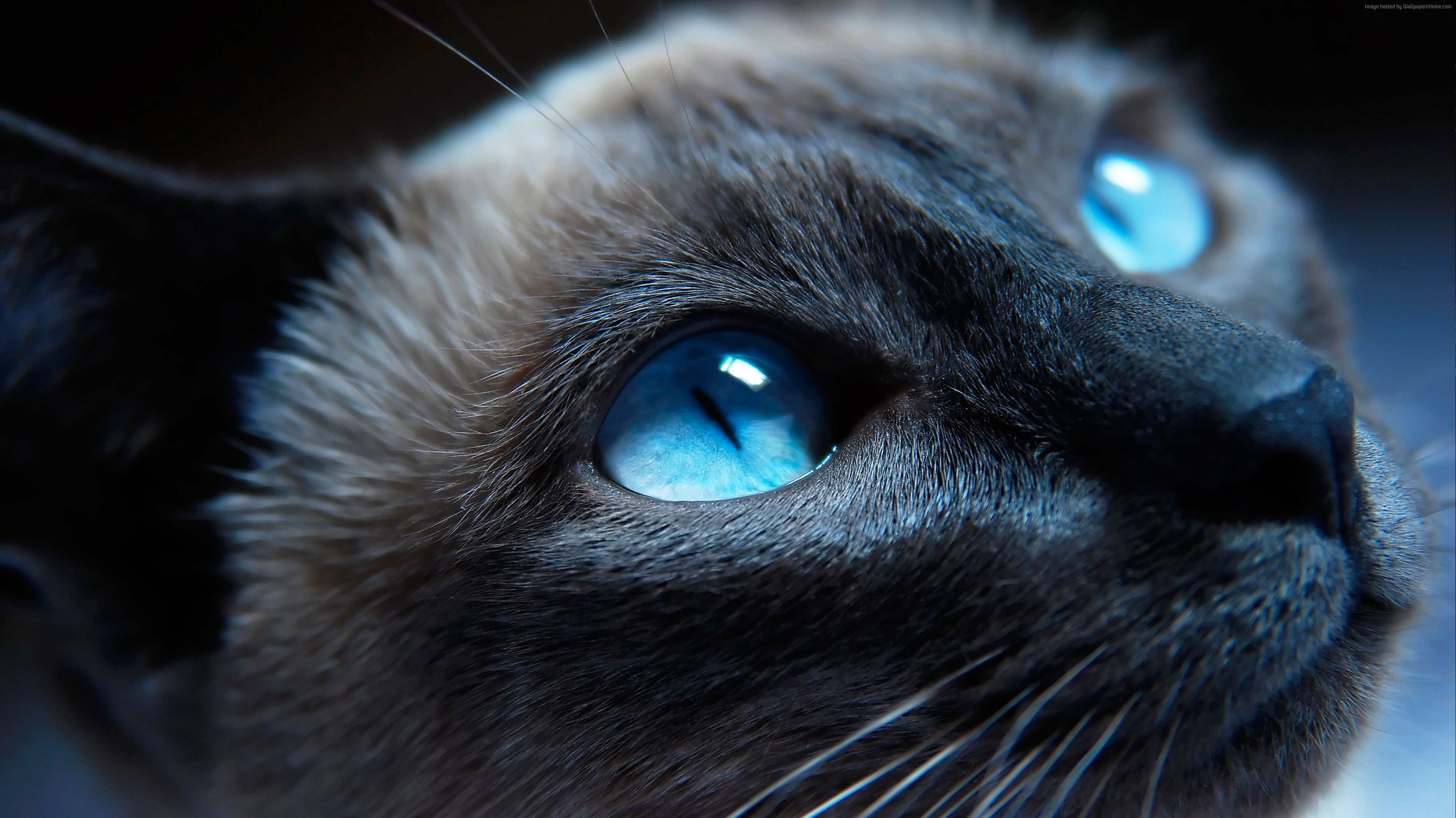 Desktop Wallpaper Siamese Cat Kitty Blue Eyes Muzzle Close Up 3840x2160