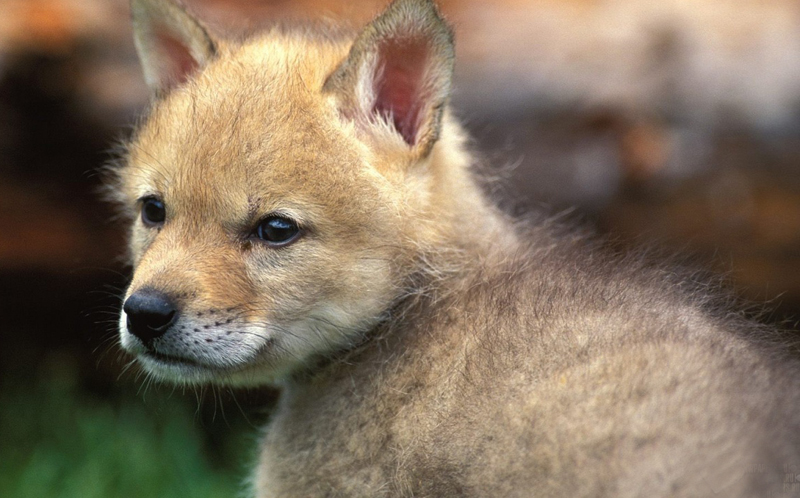 Cool Baby Fox Wallpaper 800x498