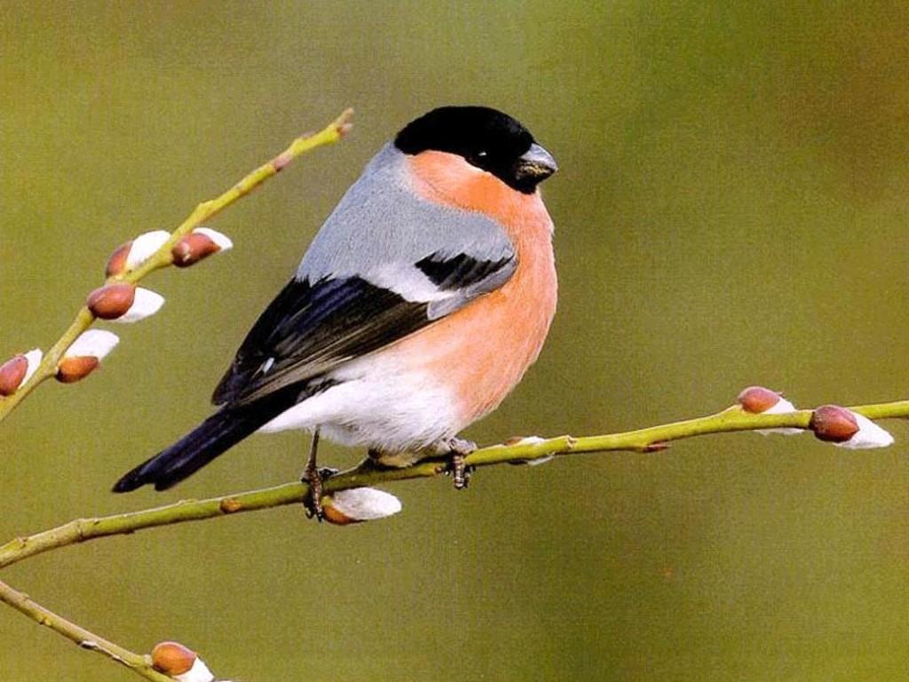 The Cat HD Desktop Birds Wallpapers Beautiful Birds Wallpapers 1024x768