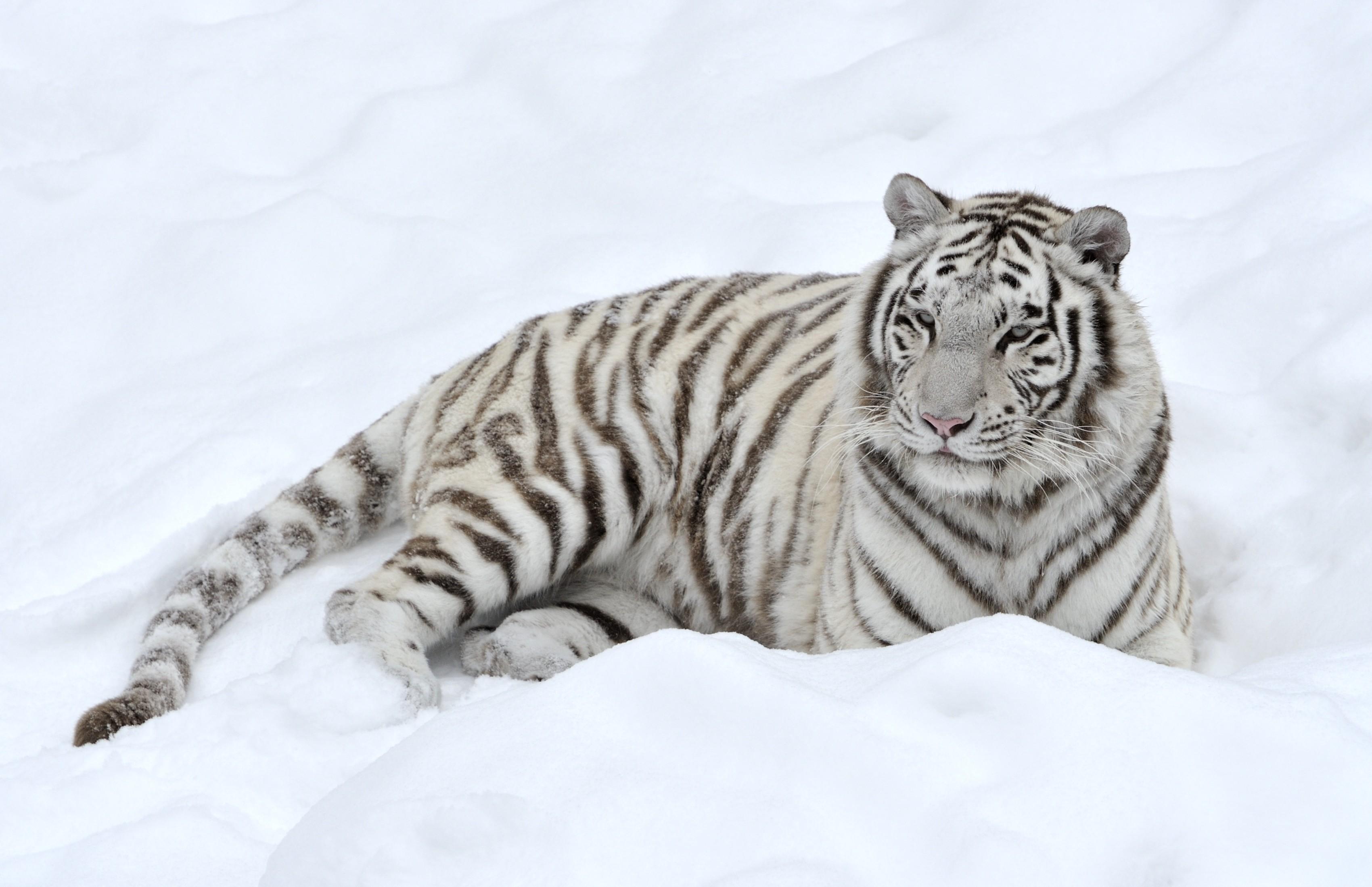 Wallpaper tiger predator snow white wallpapers cats   download 3400x2198