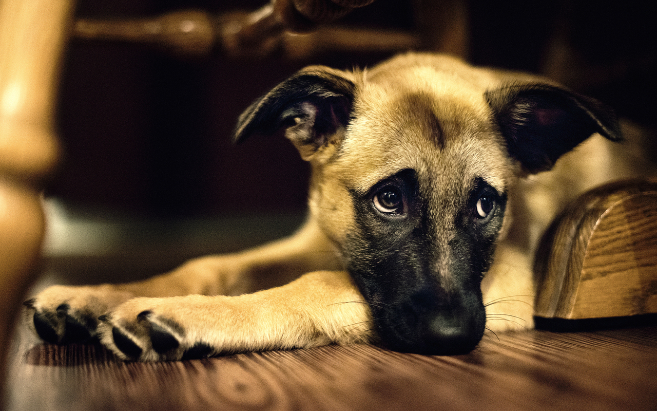 This one is like the perfect example of a cute dog wallpaper 1280x800