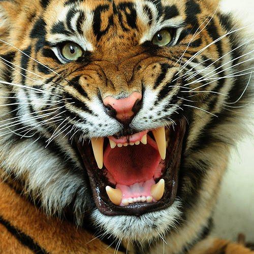 61 Tiger Face Wallpaper On Wallpapersafari