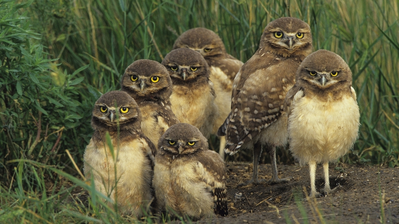 canada grass Burrowing Owl Chicks Saskatchewan Canada Wallpaper 800x450