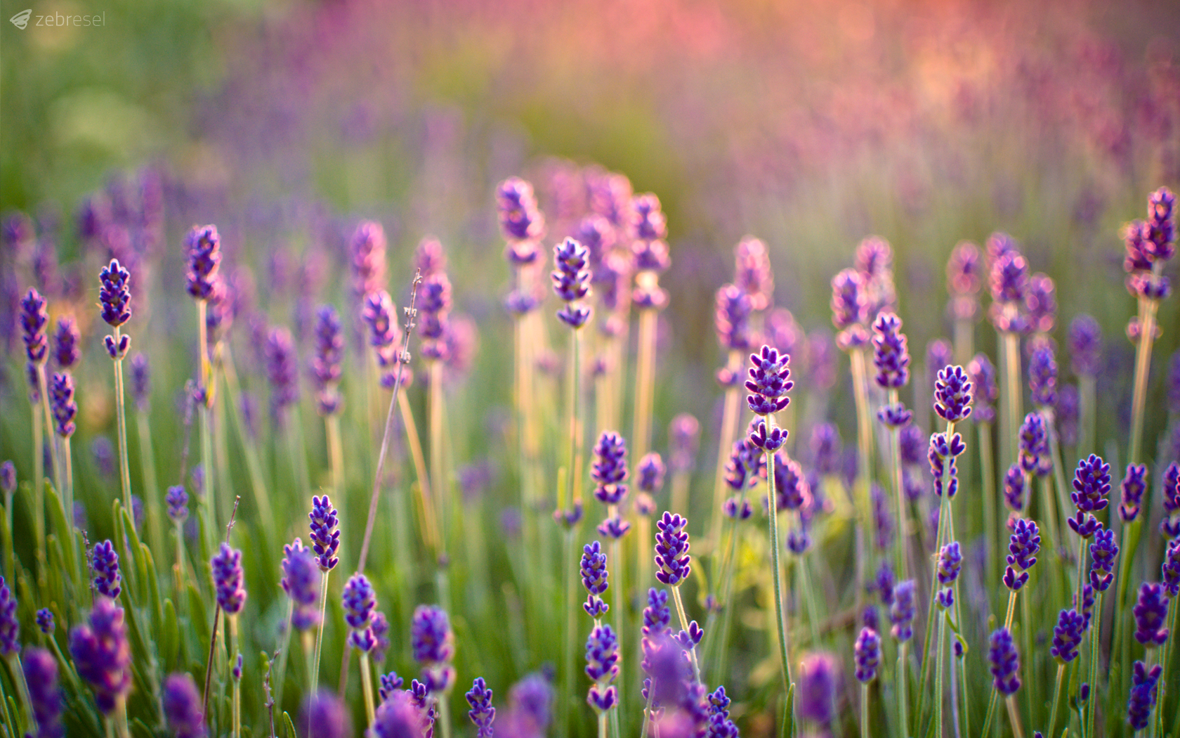 158 Lavender HD Wallpapers Backgrounds 1680x1050