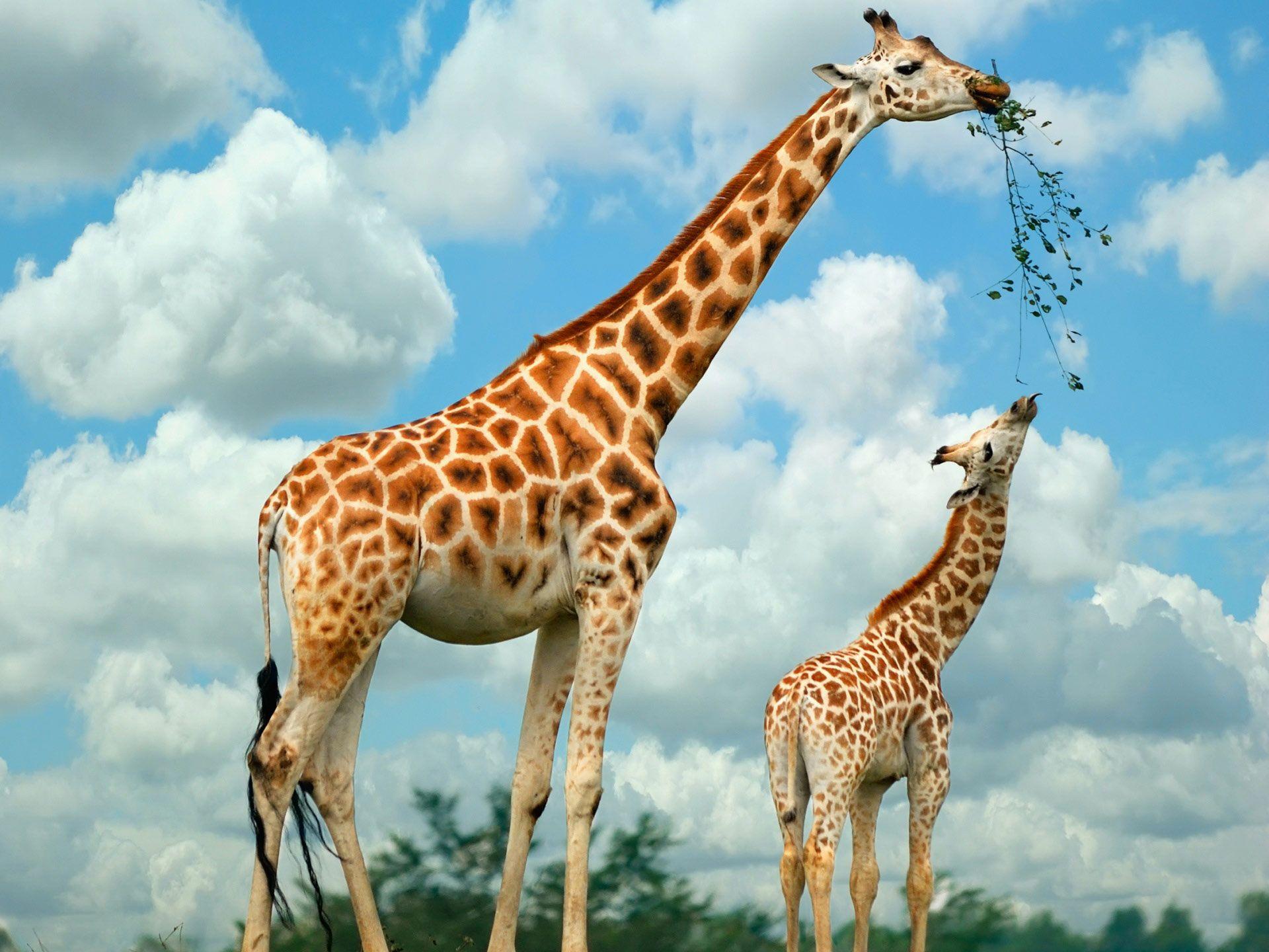 Baby Giraffe i heart giraffes Pinterest Animals Giraffe 1920x1440