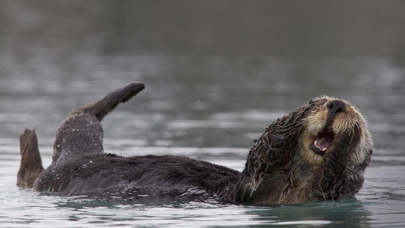 Bing Images   Alaska Sea Otter   Sea otter grooming in Prince William 1366x768
