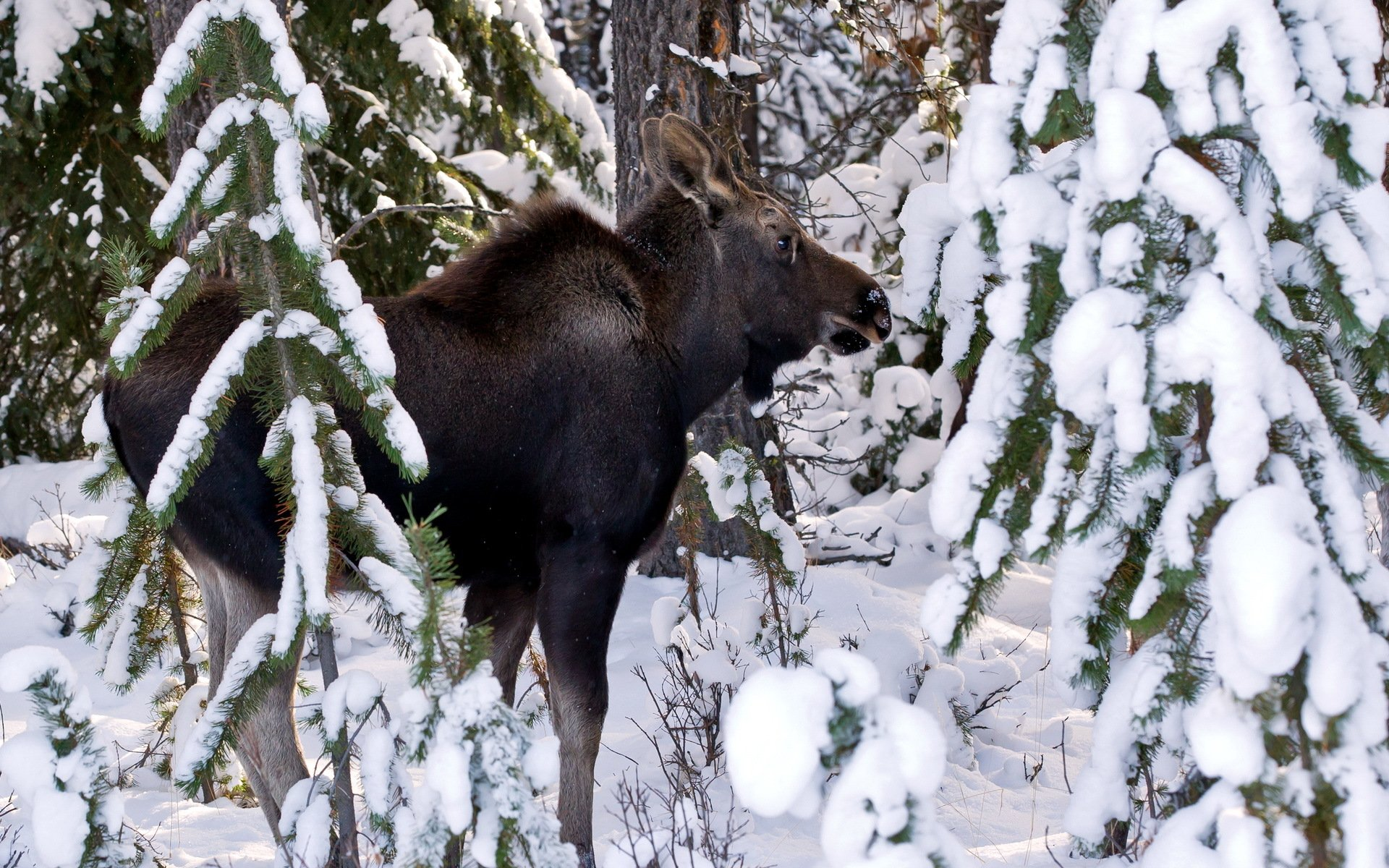 Moose deer winter snow wallpaper 1920x1200 31100 WallpaperUP 1920x1200