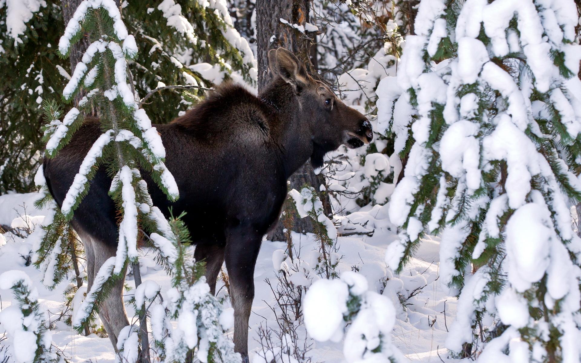Moose deer winter snow wallpaper 1920x1200 31100 WallpaperUP 1920x1200