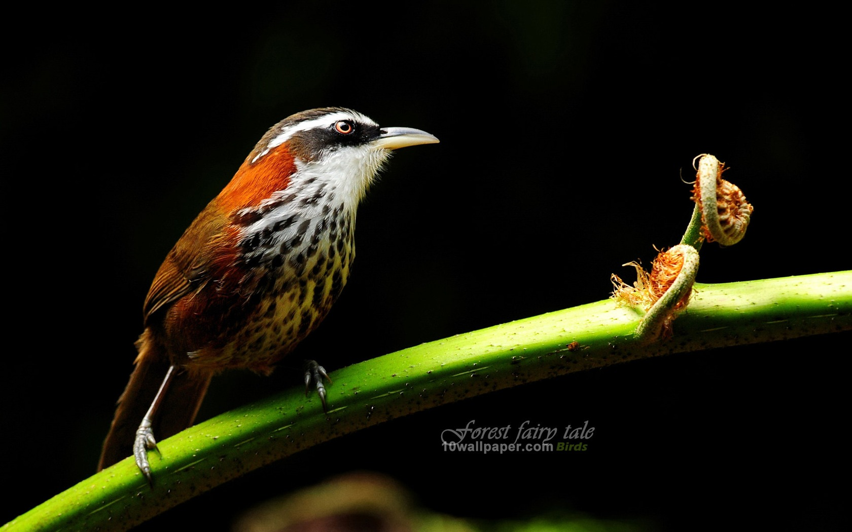 Pin Branches Birds Small Scimitar Babbler Wallpaper 1680x1050 on 1680x1050