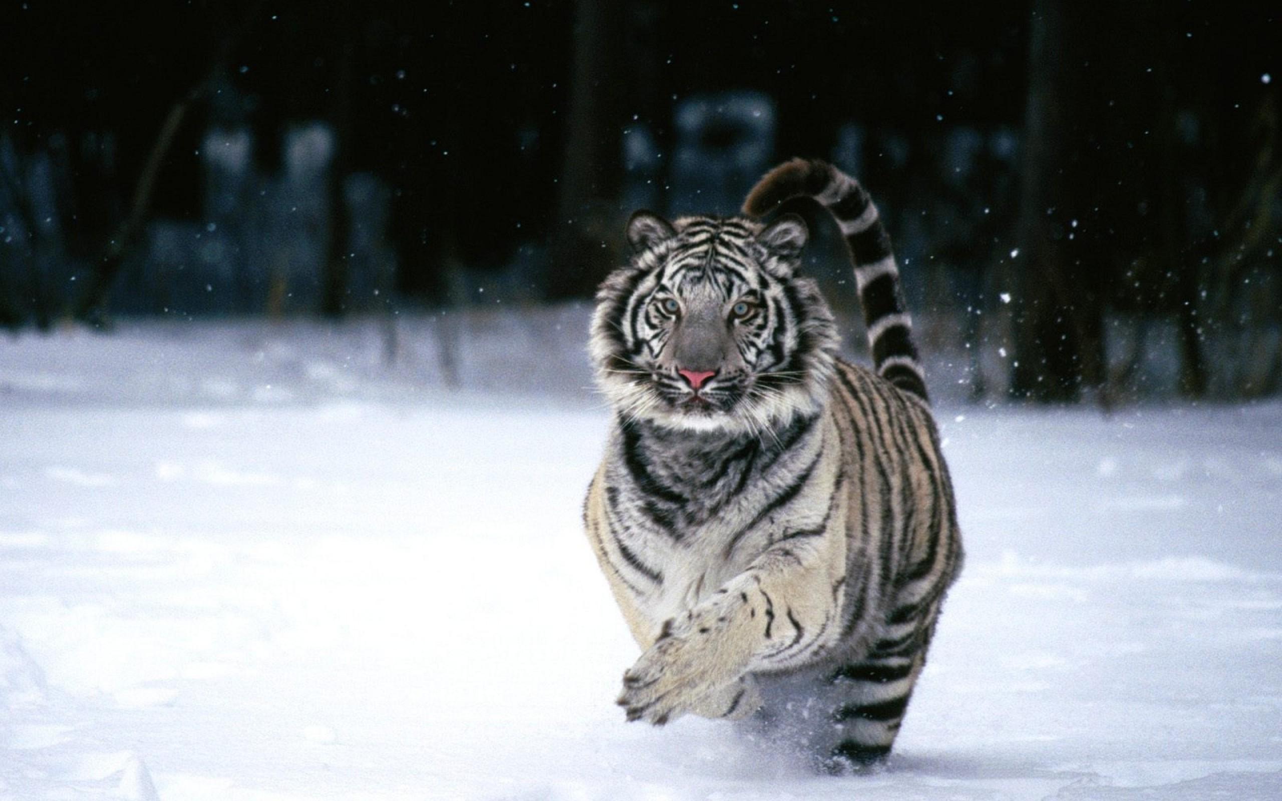 Running White Tiger Wallpaper   Download Wallpaper Nature 2560x1600