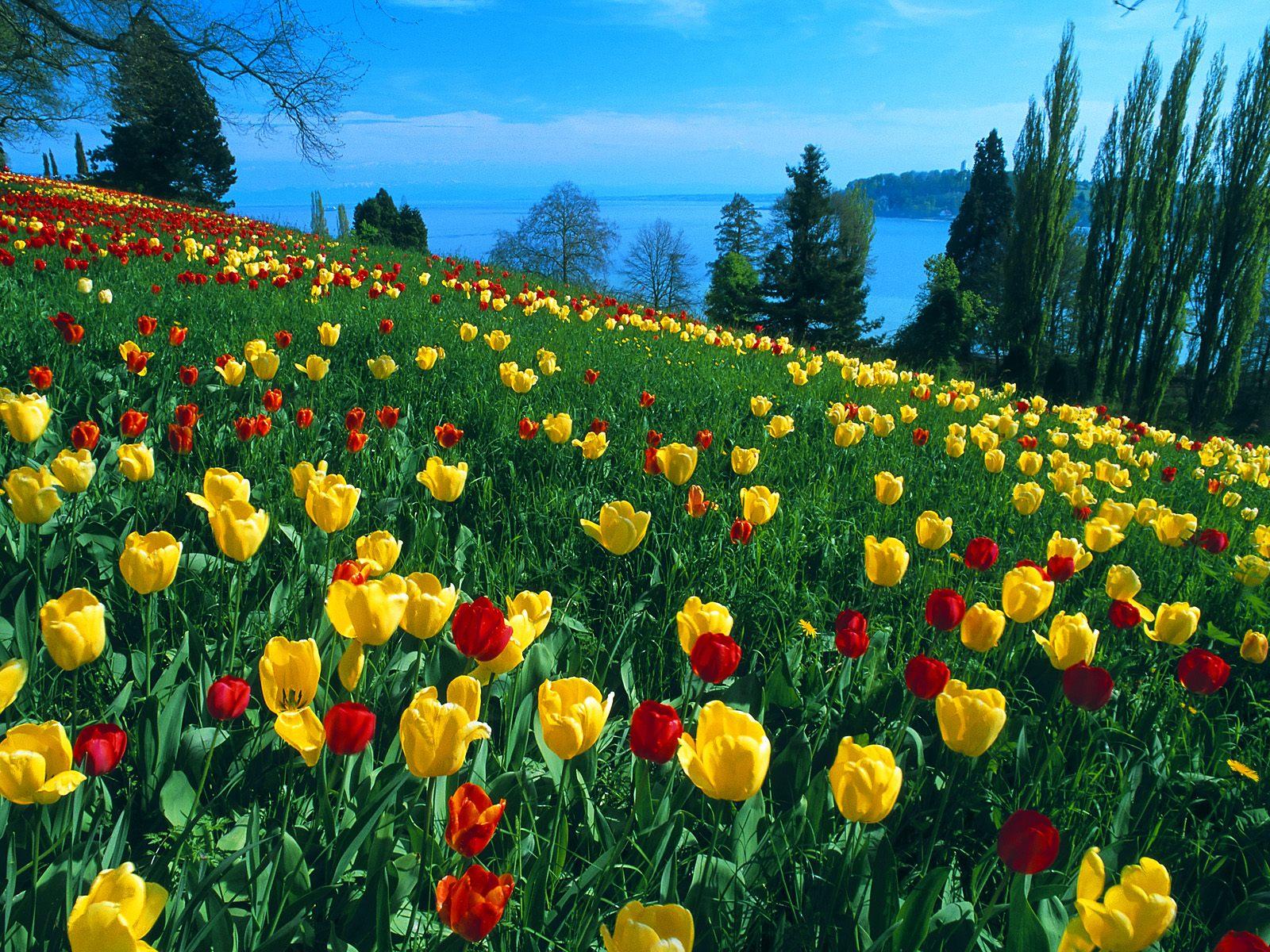 Germany HD Wallpaper Field of Tulips Germany Wallpapers for Desktop 1600x1200