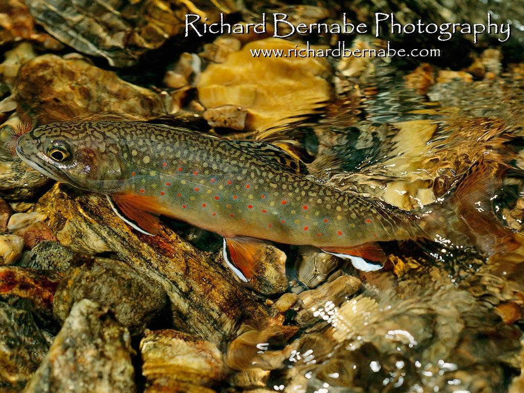 trout fishing wallpapers for desktop wallpapersafari