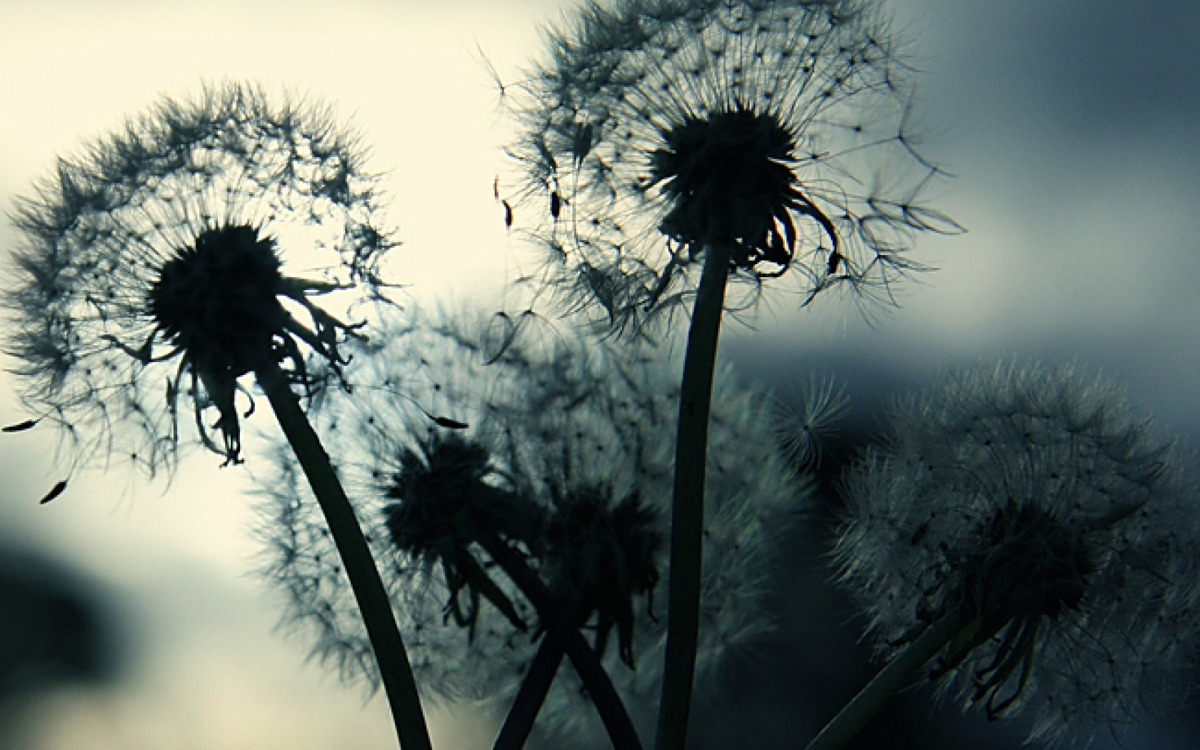 1680x1050 Dandelion Dand desktop PC and Mac wallpaper