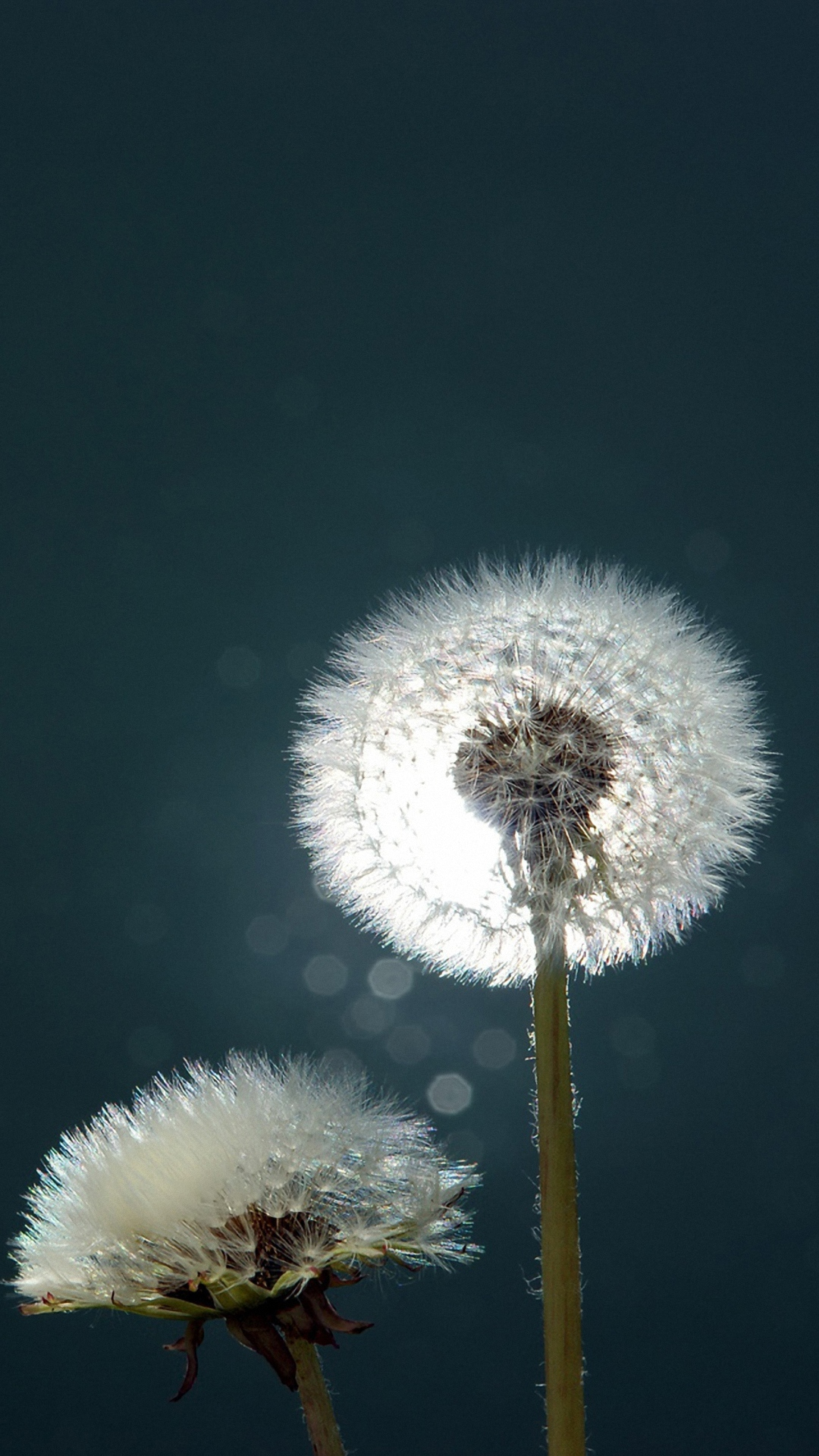 download dandelions close-up wallpaper for samsung galaxy note 3 :