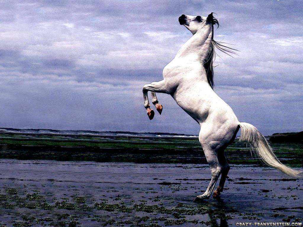 My Wallpapers Corner White Arabian Stallion Horse Stand Up Wallpaper 1024x768
