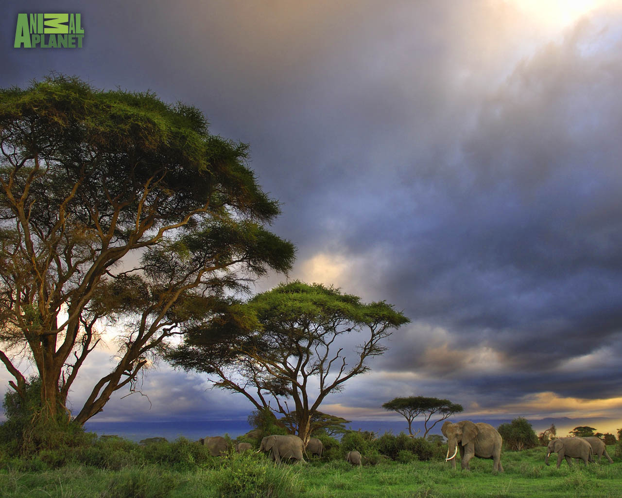 Animal Planet Wallpaper Download   elephants savannah 1280x1024