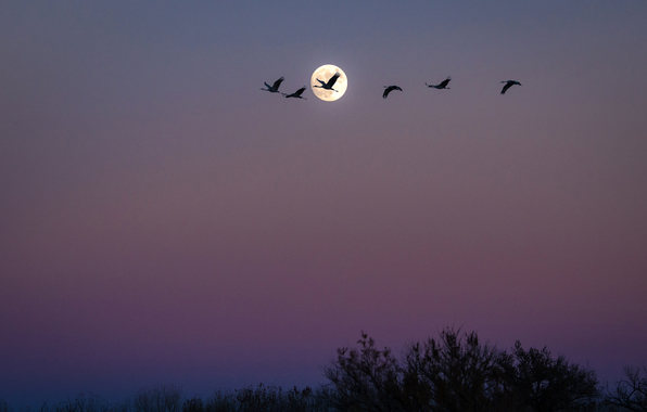 Wallpaper birds flock moon night san antonio new mexico usa 596x380