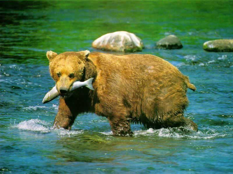 animal wallpaper animal desktop wallpaper animal wallpaper wild bear 800x600