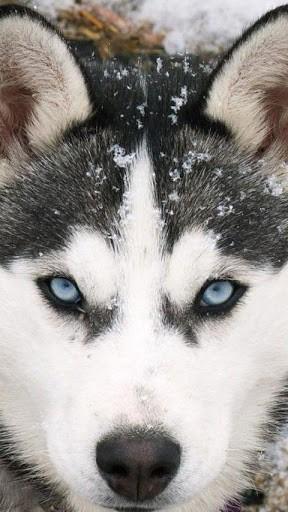 Husky Dog Wallpapers Screensavers Wallpapersafari