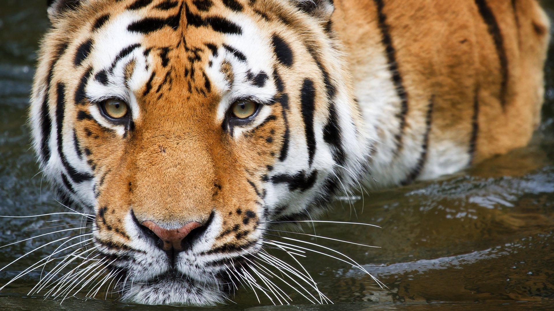 Wallpaper Cheetah Pair Hd Animals 6057: [43+] 1920X1080 Tiger Wallpaper Full HD On WallpaperSafari