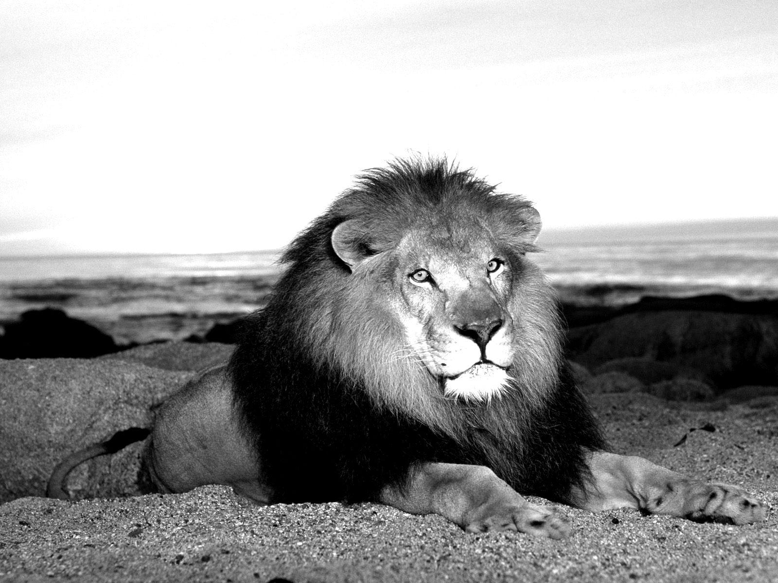 Lion Wallpaper Black and White - WallpaperSafari