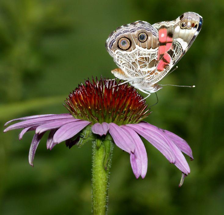 Butterflies of Northern Illinois 733x705
