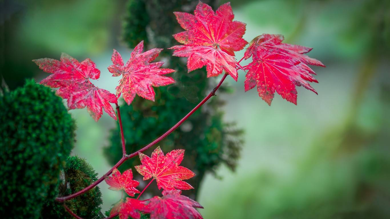 Pink leaves leavespinkcolourfulnatureforestdifferent 1366x768