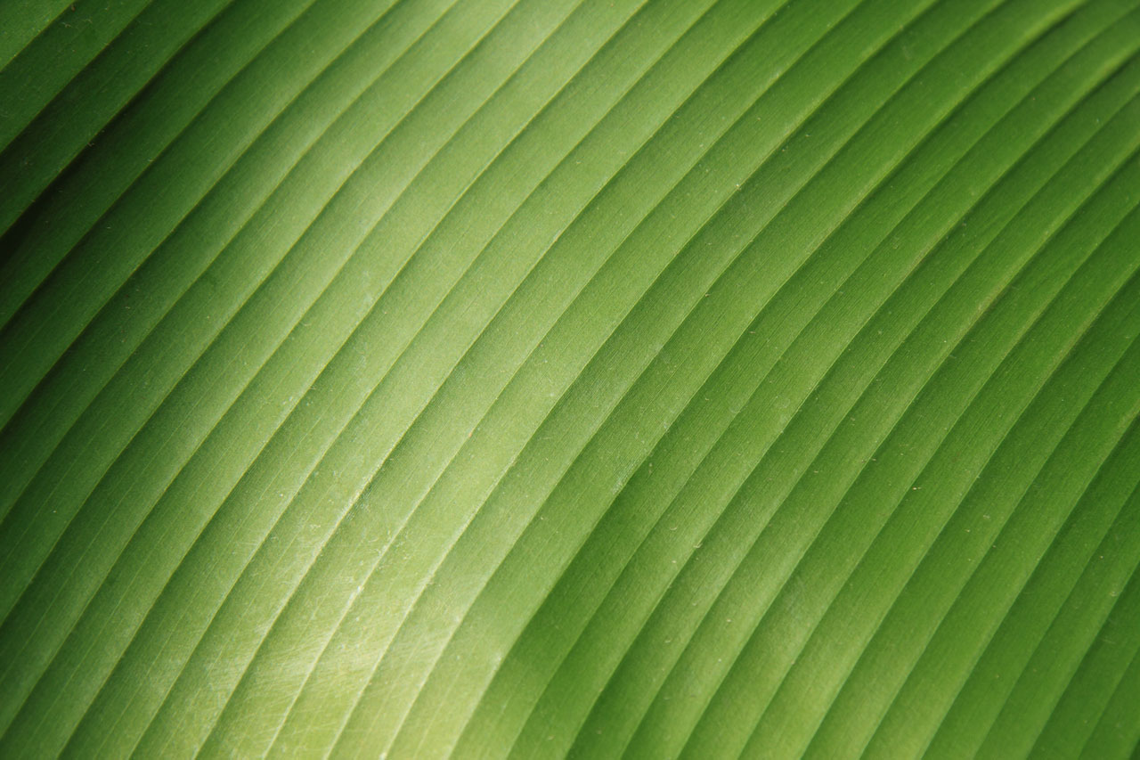 Banana Leaf Wallpaper Wallpapers Magz 1280x853