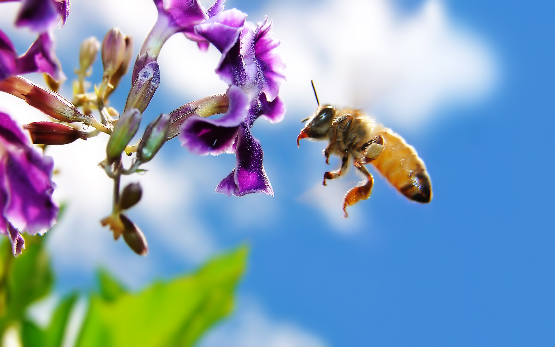 Bee on Flower Widescreen Wallpapers HD Wallpapers 1920x1200
