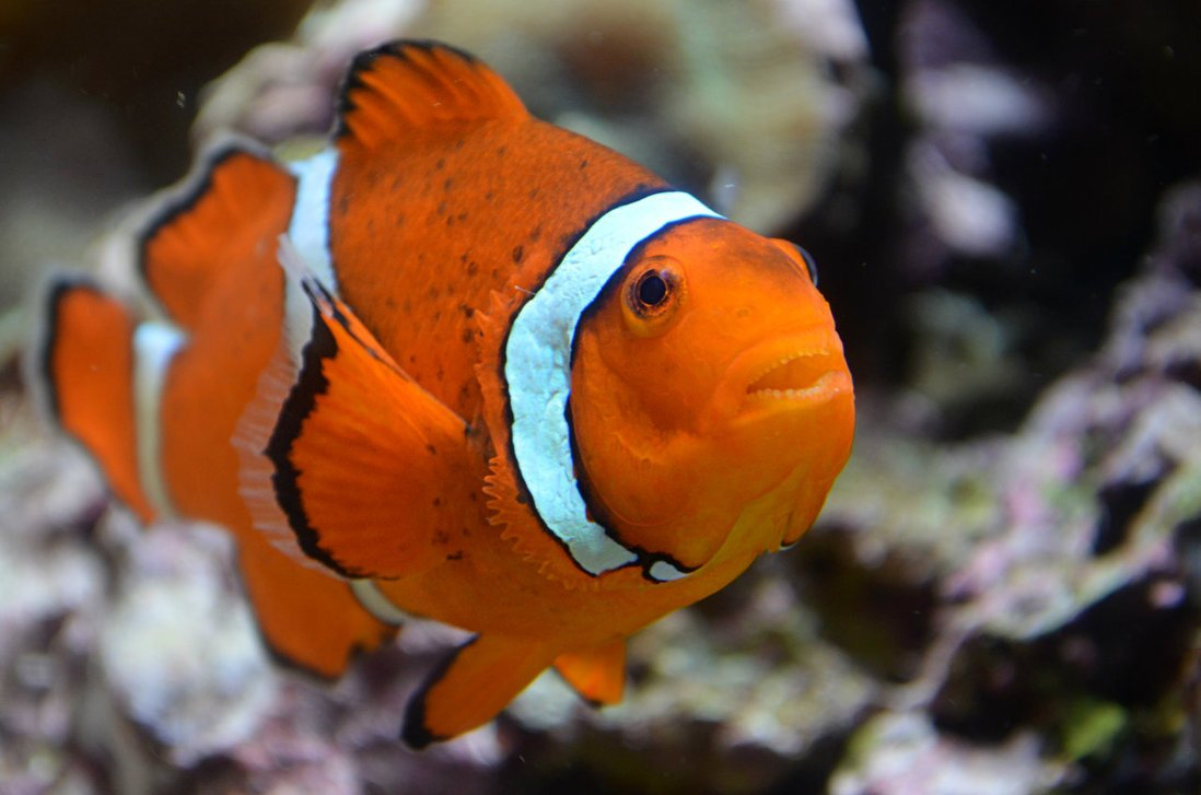 Clown Fish Wallpapers For Download HD Fish Download For Fish 1098x727