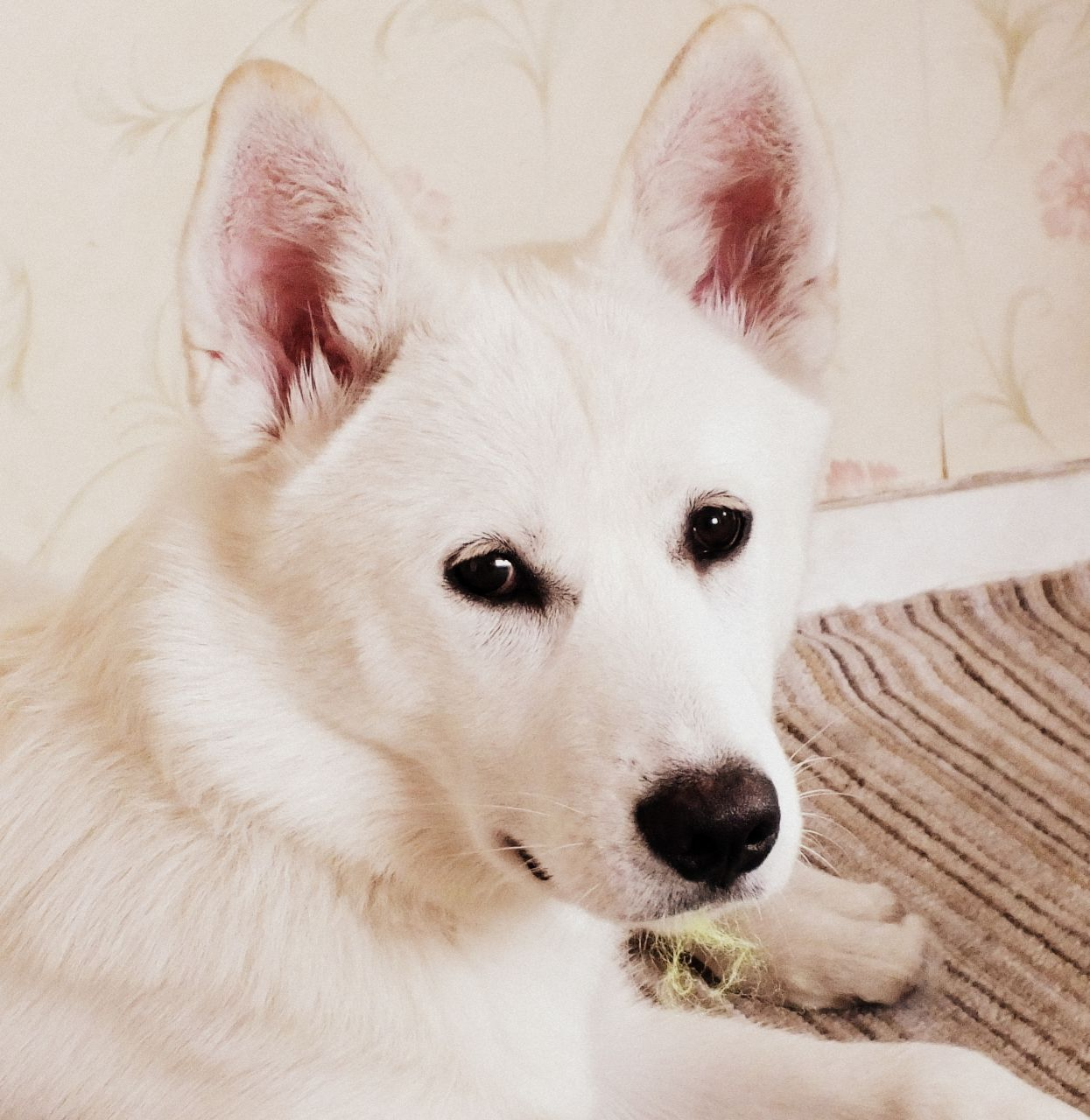 White Siberian Husky Wallpaper