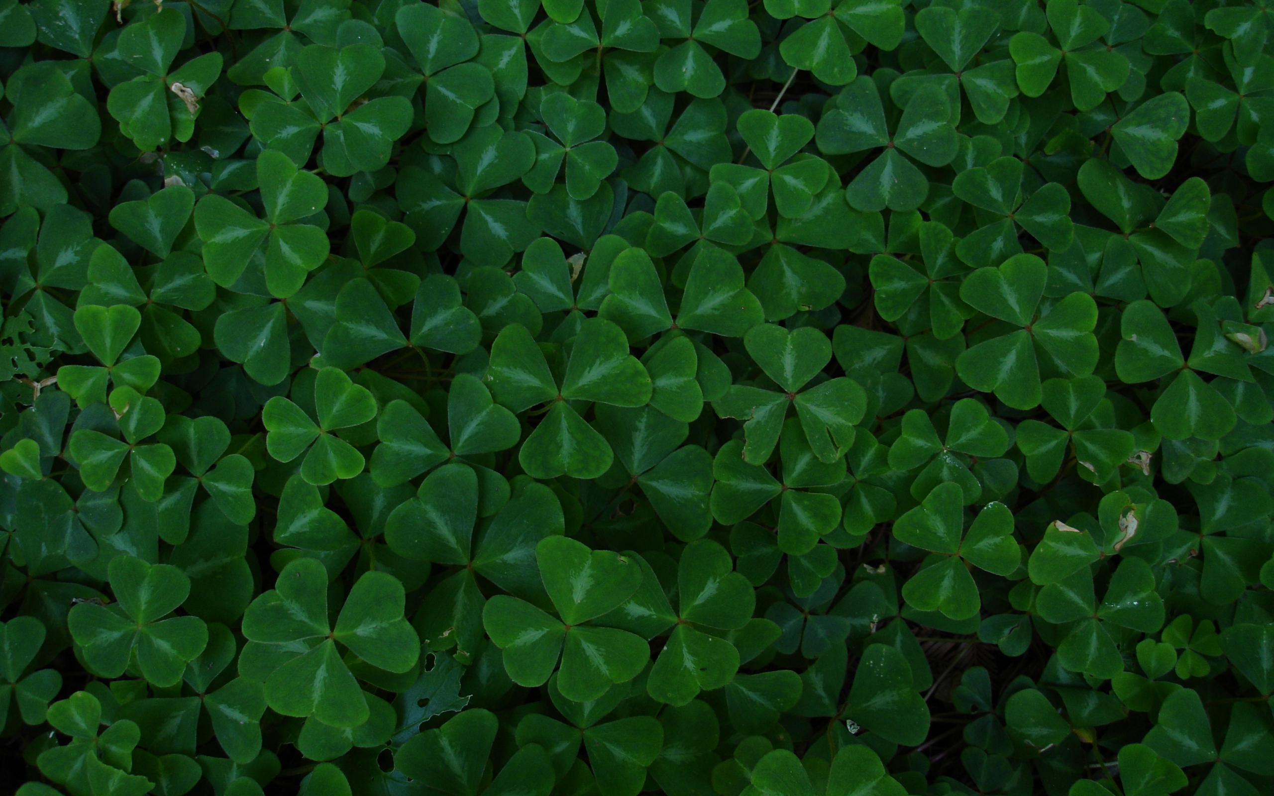 Displaying 16 Images For   Four Leaf Clover Background 2560x1600